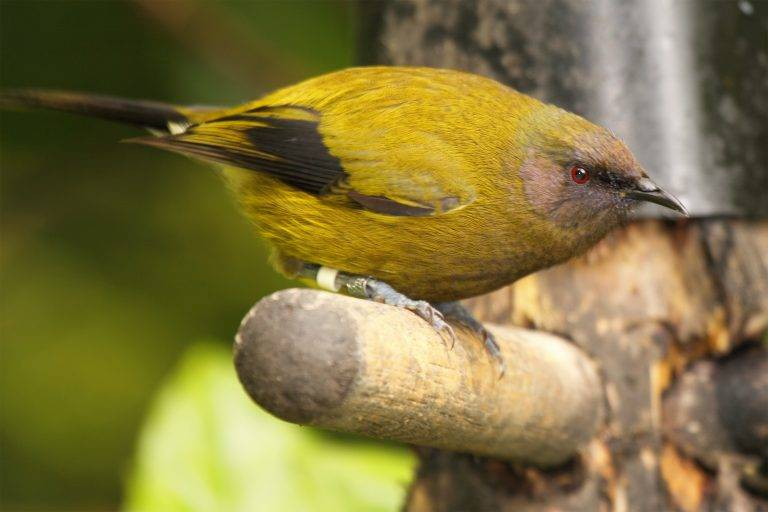 Bellbird Endangered