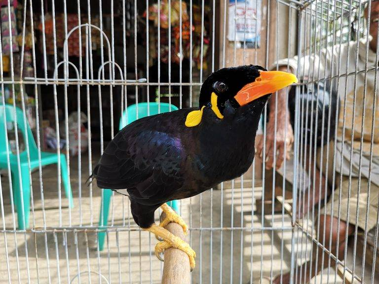 A Nias myna caged for sale on the streets of Gunungsitoli