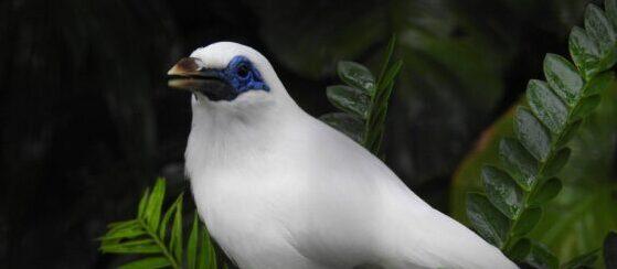 Bali Myna (Leucopsar rothschildi) Bali Bird Park by Simon Bruslund